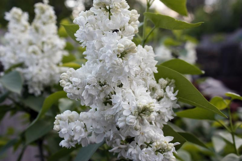 Branches des feuilles lilas et vertes blanches Branche fleurissante de lilas Plan rapproch? images libres de droits