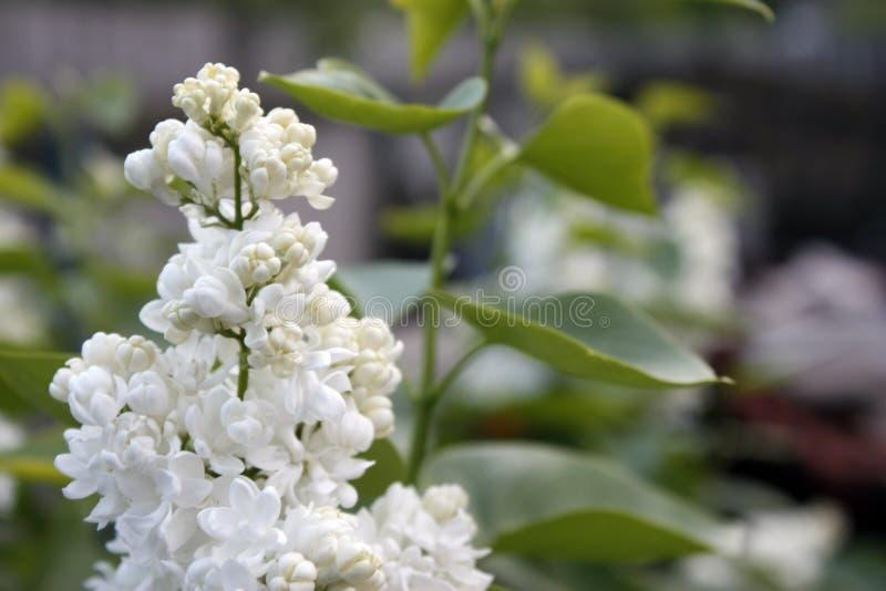 Branches des feuilles lilas et vertes blanches Branche fleurissante de lilas Plan rapproch? photos libres de droits