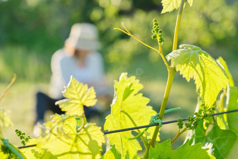 Branches des feuilles vertes de la vigne, vignoble au printemps images libres de droits