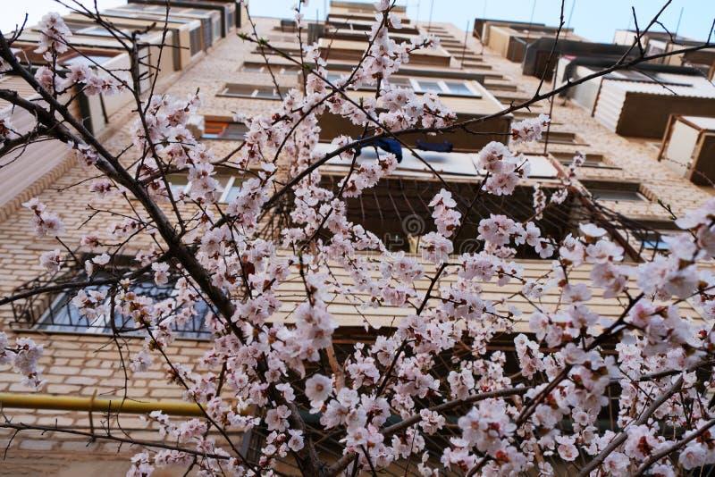 Branches des fleurs fraîches de cerisier en avril avec l'immeuble sur le fond image libre de droits