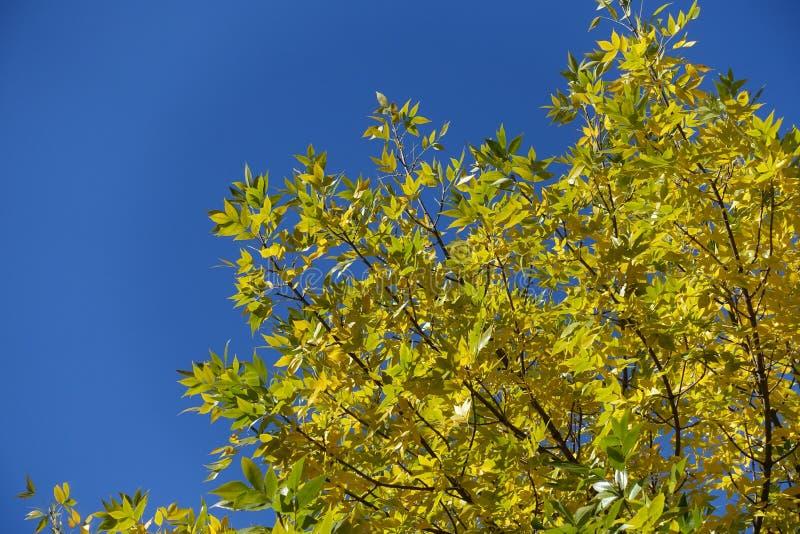 Branches diagonales de cendres avec feuillage automnal contre ciel bleu image libre de droits