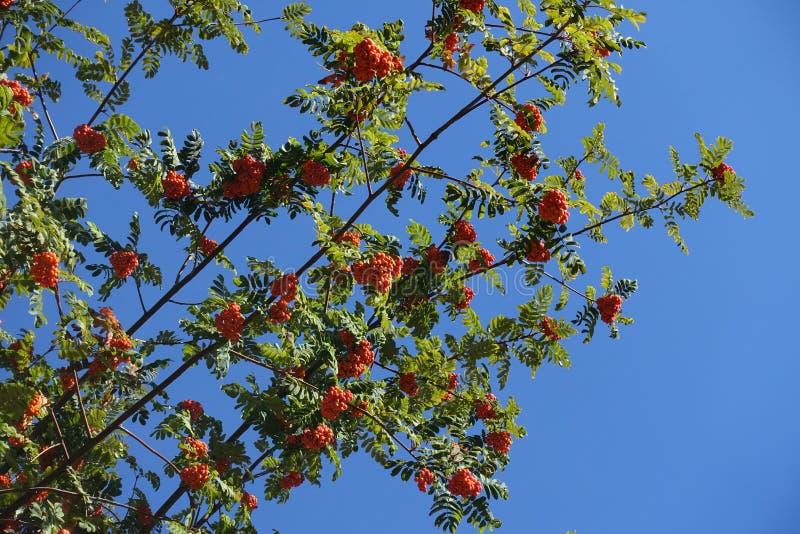 Branches diagonales de rowan avec baies d'orange contre ciel bleu photos libres de droits