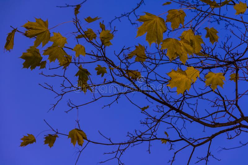 Branches with dry leaves on the background of sky stock images