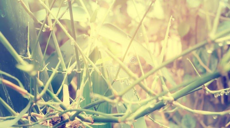 Branches en bambou avec des baisses de rosée et le temps de début de la matinée de lever de soleil photo stock
