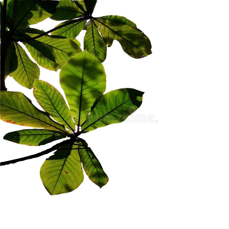 Branches et feuillage avec le tir d'angle de silhouette d'isolement sur les milieux blancs illustration libre de droits