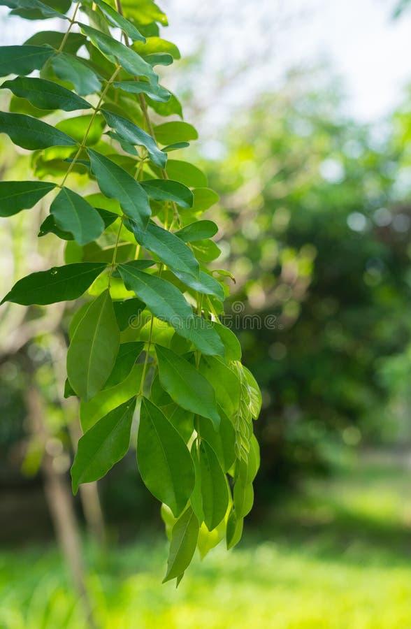 Branches et feuilles vertes de Phyllocarpus septentrionalis Donn. forgeron image stock