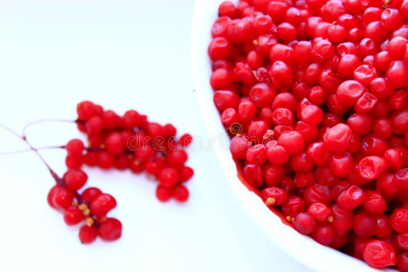 Branches et plein plat de schisandra mûr rouge d'isolement photographie stock