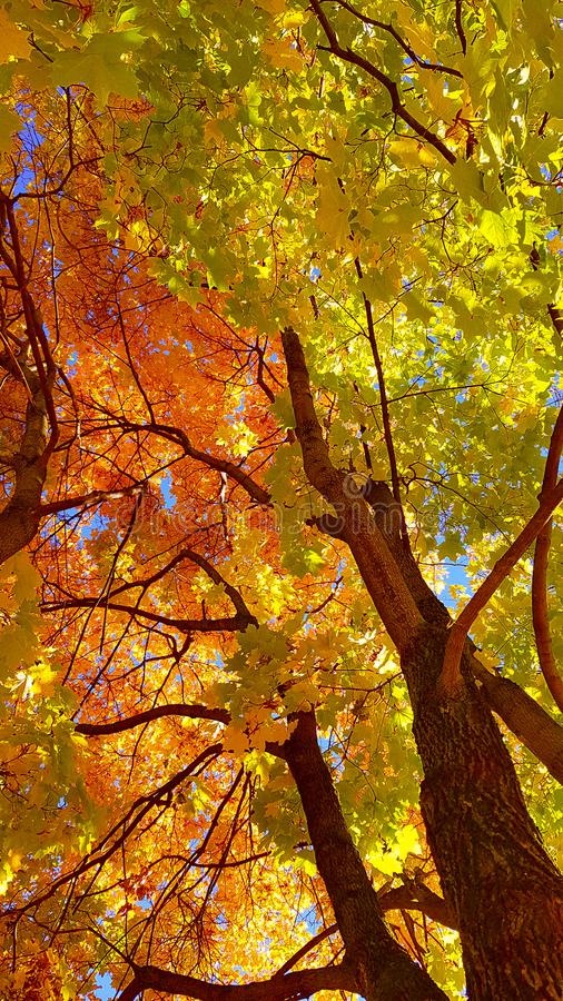 Branches et tronc avec les feuilles jaunes et vertes lumineuses de l'arbre d'érable d'automne sur le fond de ciel bleu Vue inféri image stock