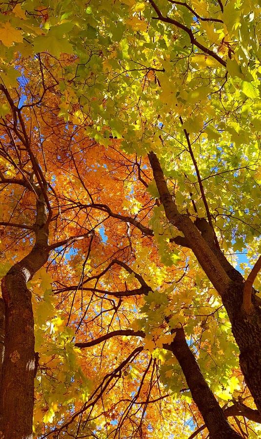 Branches et tronc avec les feuilles jaunes et vertes lumineuses de l'arbre d'érable d'automne sur le fond de ciel bleu Vue inféri images stock