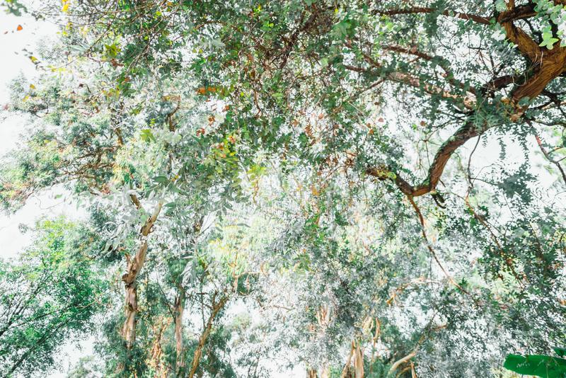 Rainforest. The branches of the eucalyptus tree intertwine in the sky. stock images