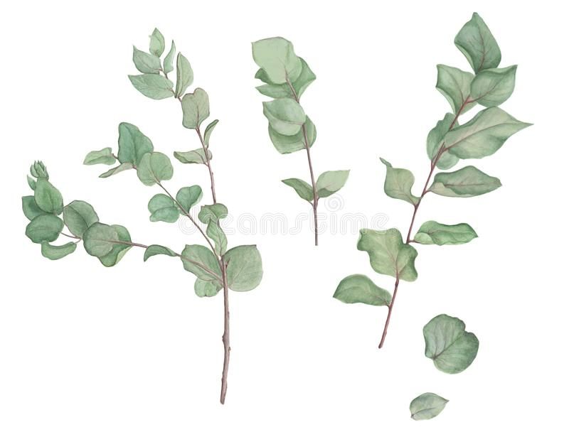 Branches of eucalyptus, watercolor painting. Tree branches and leaves of eucalyptus, watercolor painting. Botanical illustration. Isolated stock illustration