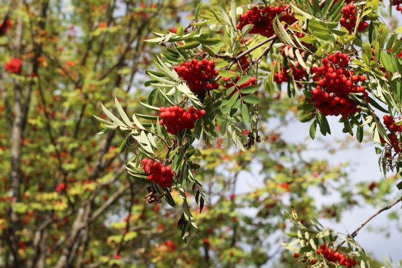 Branches of European Mountain Ash Rowan tree with ripe berries stock photos
