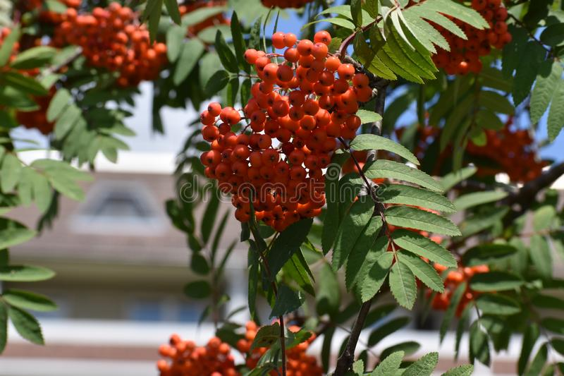 Branches of European Mountain Ash Rowan tree with ripe berries. Sorbus Aucuparia stock image