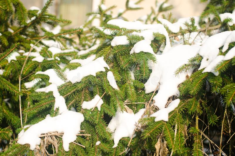 Branches of an evergreen christmas tree in the snow in a winter park. Trees in the snow. Natural wallpaper. The concept of winter. royalty free stock images