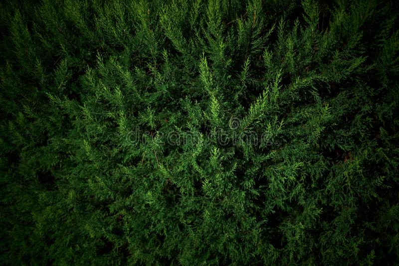 Branches of evergreen tree thuja at night in the light of lanterns royalty free stock photos