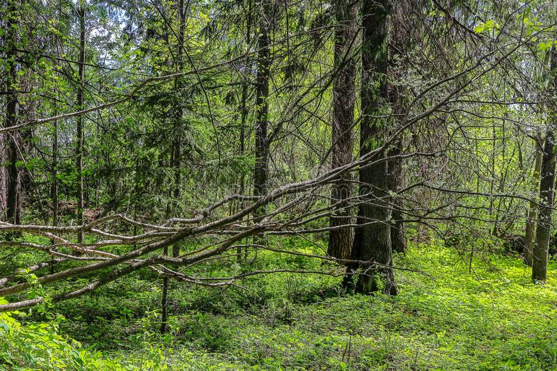 Branches of a fallen tree in the spring forest.  stock image