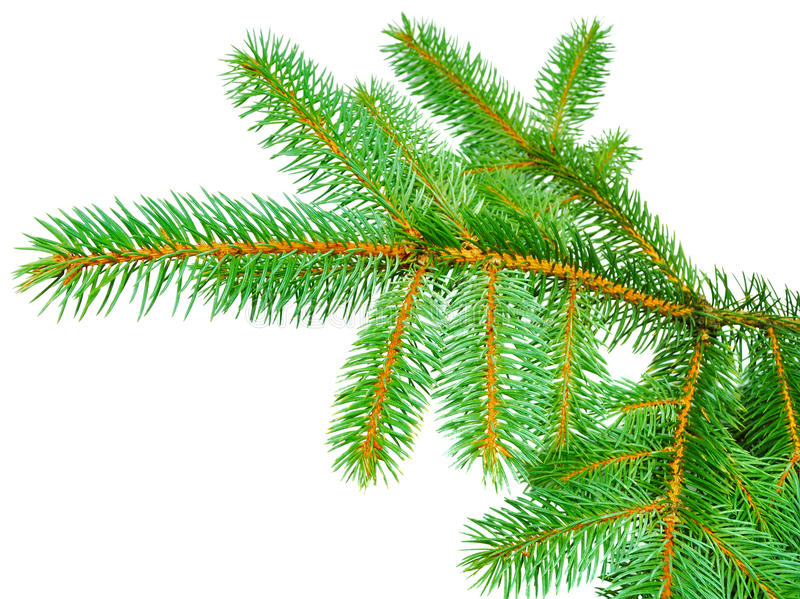 Branches of fir-tree royalty free stock images