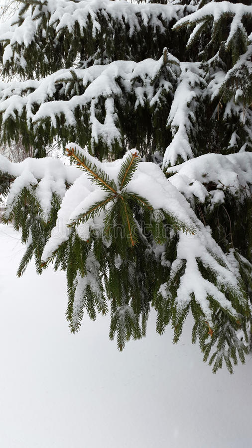 Download Branches Of A Fir Tree With Snow Stock Photo - Image: 83708644
