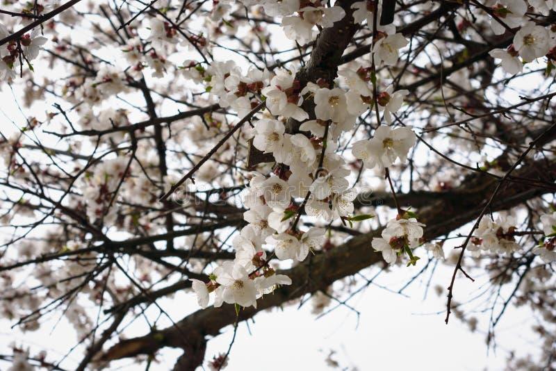Branches fleurissantes d'un abricotier photo libre de droits