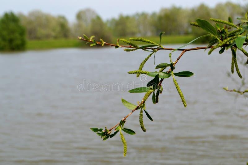Branches fleurissantes 1 de saule photo stock