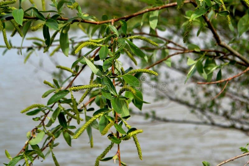 Branches fleurissantes 2 de saule photo libre de droits