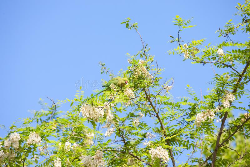 Branches of flowering Acacia Black Locust against the blue sky and green Parakeet eating Acacia`s flowers stock photos
