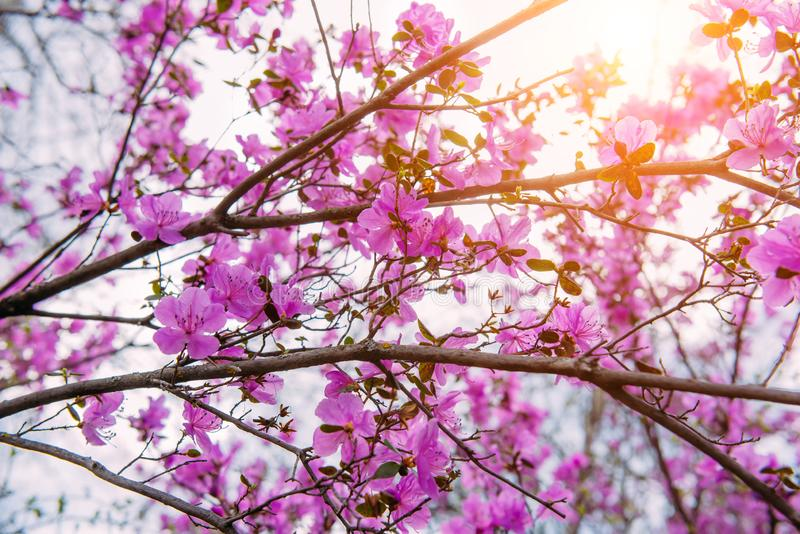 Branches of flowering fruit tree on a sunny spring day against the sky. Delicate pink Sakura flowers, close-up royalty free stock photography