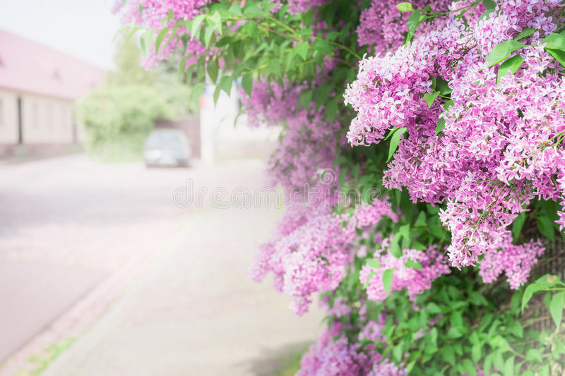Branches of flowering lilac over village street. stock images