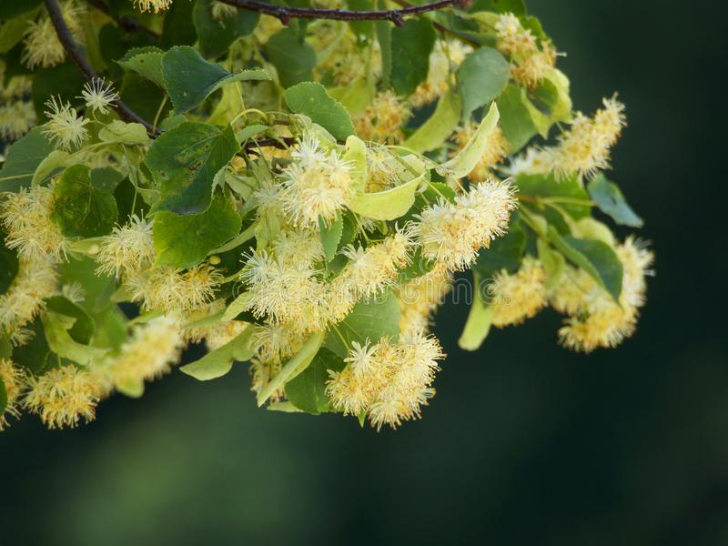 Branches of flowering linden. Branches of a blooming lime tree on a blurred background royalty free stock photography