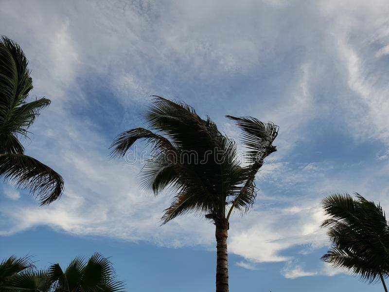 Branches and foliage of palm trees moving during a day with strong winds. Clouds, sky, blue, nature, natural, environment, tropical, outdoor, backdrop stock photography