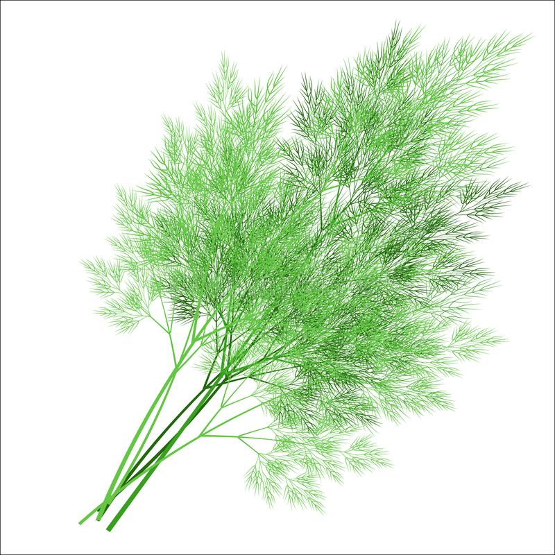 Branches of fresh dill branches. Tasty and healthy spicy grass. Seasoning with meat and vegetable dishes. Vector illustration.  royalty free illustration
