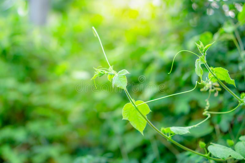 Fresh young bud soft green leaves of climber spreading on natural greenery plant blurred background under sunlight in garden. Branches of fresh young bud soft royalty free stock image