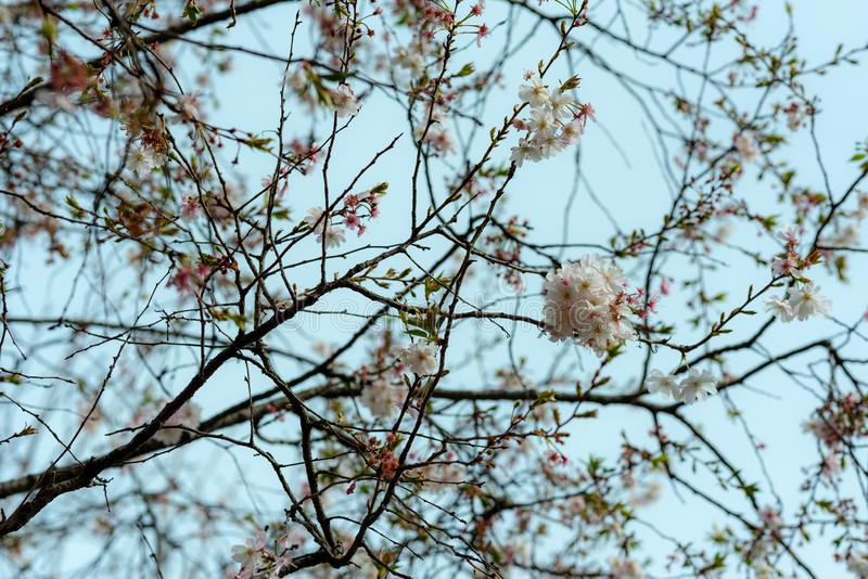 Branches full of flowers blossomed in spring, dreamlike landscape. Branches full of flowers blossomed in spring, dreamlike sky in springtime stock photos