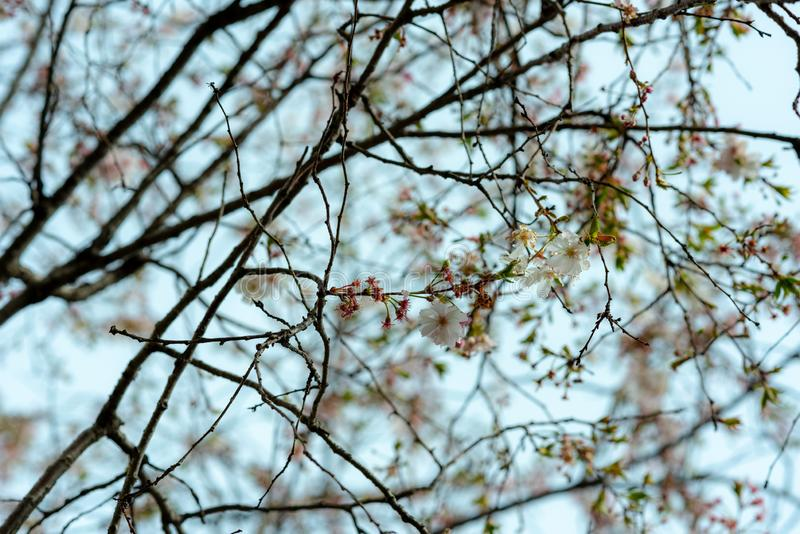 Branches full of flowers blossomed in spring, dreamlike landscape. Branches full of flowers blossomed in spring, dreamlike sky in springtime stock photography
