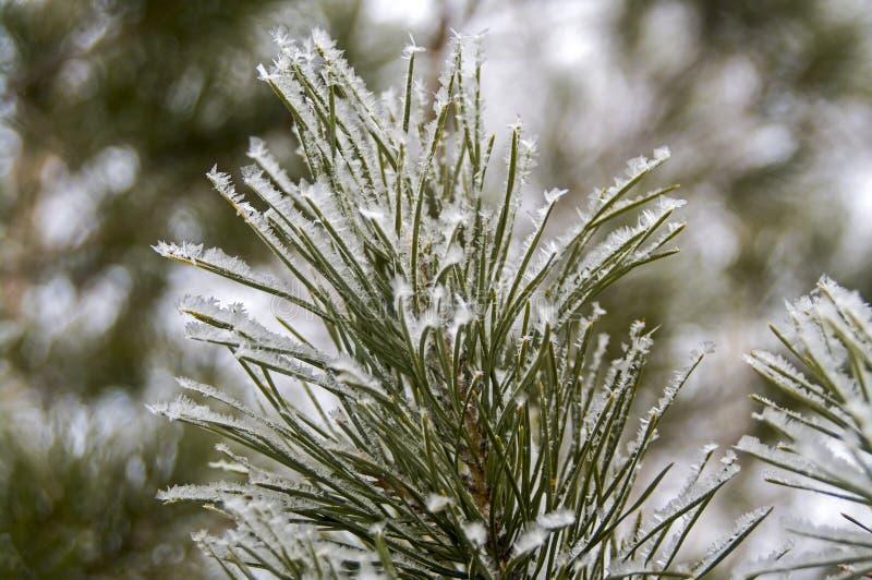 Branches gelées de pin d'hiver images libres de droits