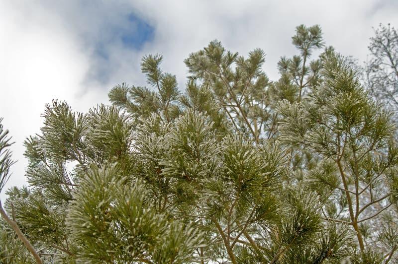 Branches gelées de pin d'hiver image stock