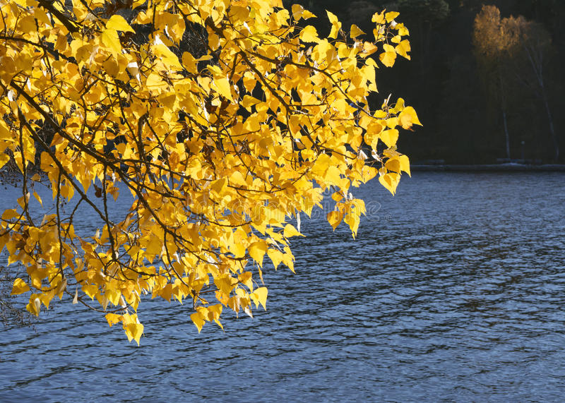 Branches with golden yellow autumn leaves hanging over water. Branches of a tree with glowing fall leaves hanging out over the blue water on a sunny autumn day stock image