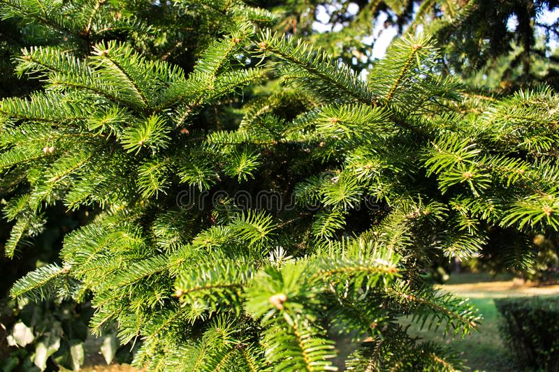 Branches with green fir leaves. Close up photo. A fir tree on an August day stock photo