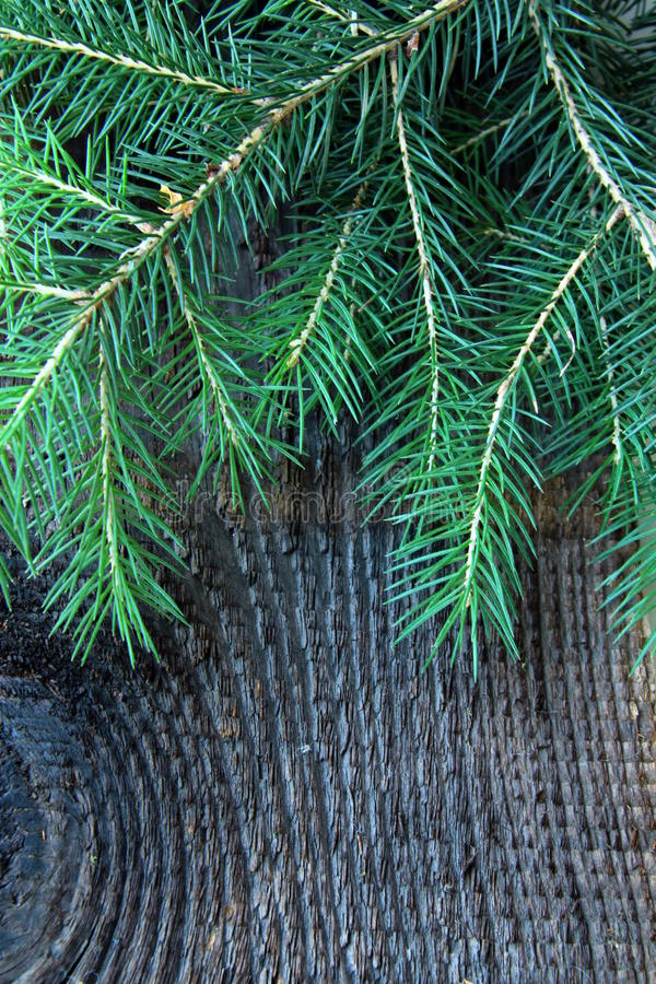 Download Branches Green Fir Tree On A  Background Stock Image - Image: 20254209