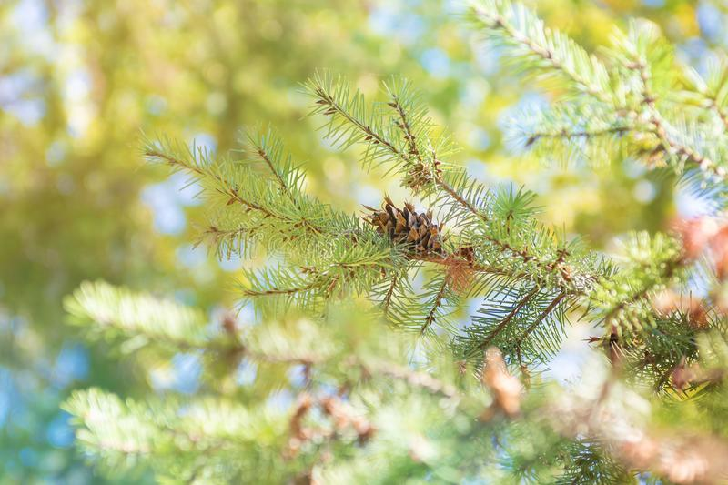 Branches of green fir tree, close up stock images