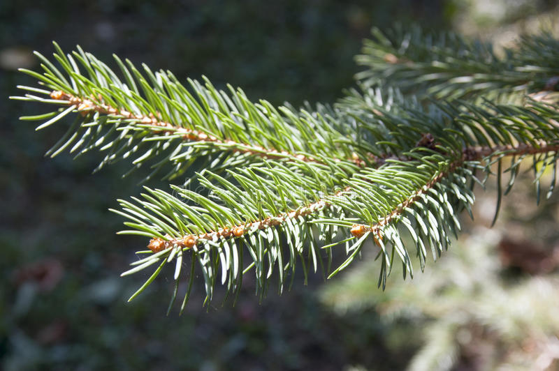 Branches of a green fir-tree close up stock image