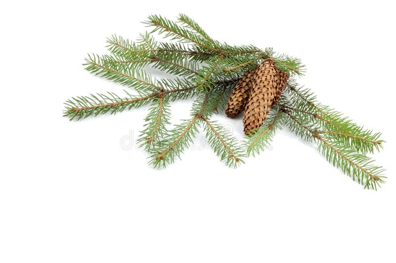 Branches of a green fir-tree with cones stock images