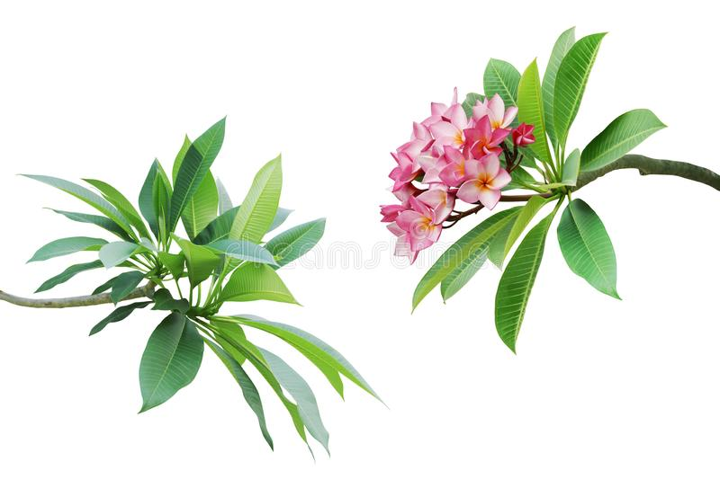 Branches with Green Leaves and Pink Flowers of Frangipani, Plumeria Tree Isolated on White Background with Clipping Path royalty free stock photos