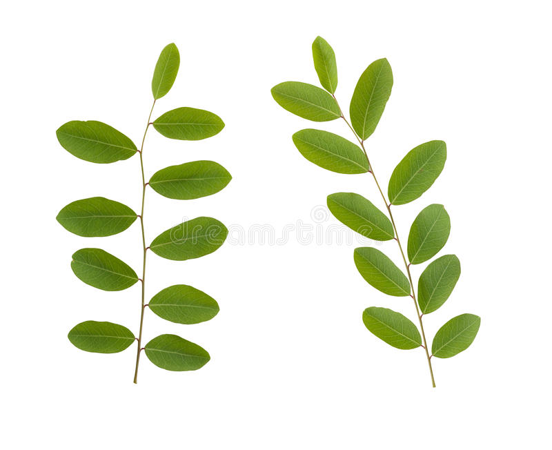 Branches and green Leaves of tropical tree isolated on white background. royalty free stock photography