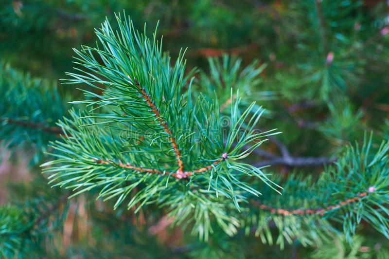 The branches of green pine close-up. Spruce needles. Background of Christmas tree branches stock image