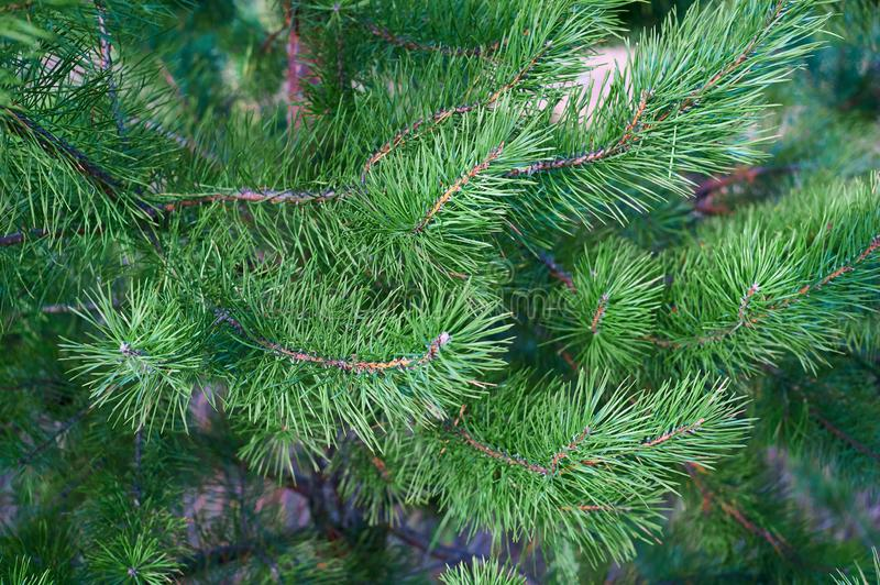 The branches of green pine close-up. Spruce needles. Background of Christmas tree branches royalty free stock image