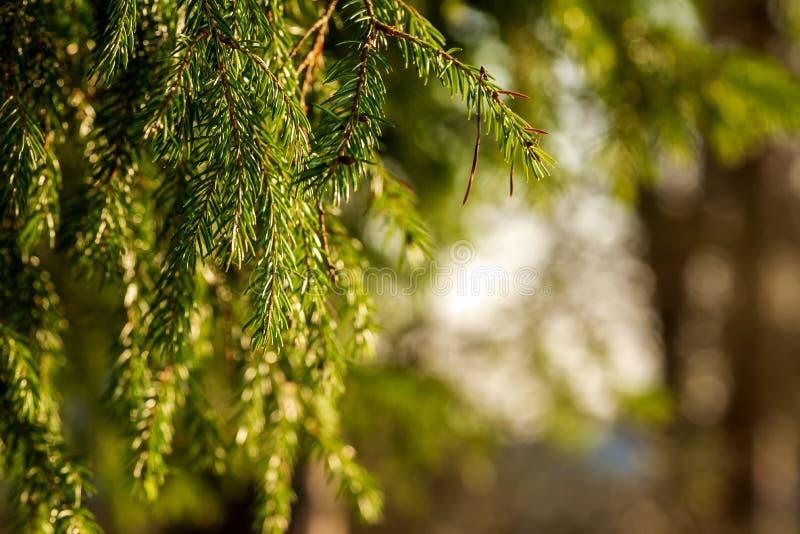 Branches impeccables vertes accrochant sur le fond brouillé photo stock
