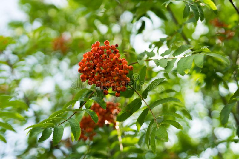 Branches of large red mountain ash. In green leaves stock photo