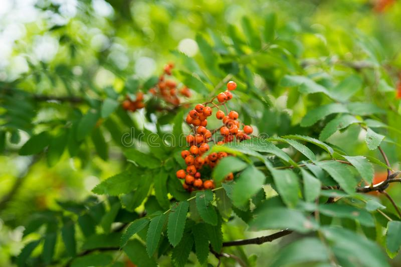 Branches of large red mountain ash. In green leaves royalty free stock photo