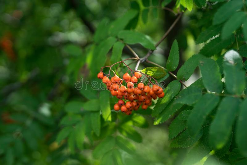 Branches of large red mountain ash. In green leaves stock photography